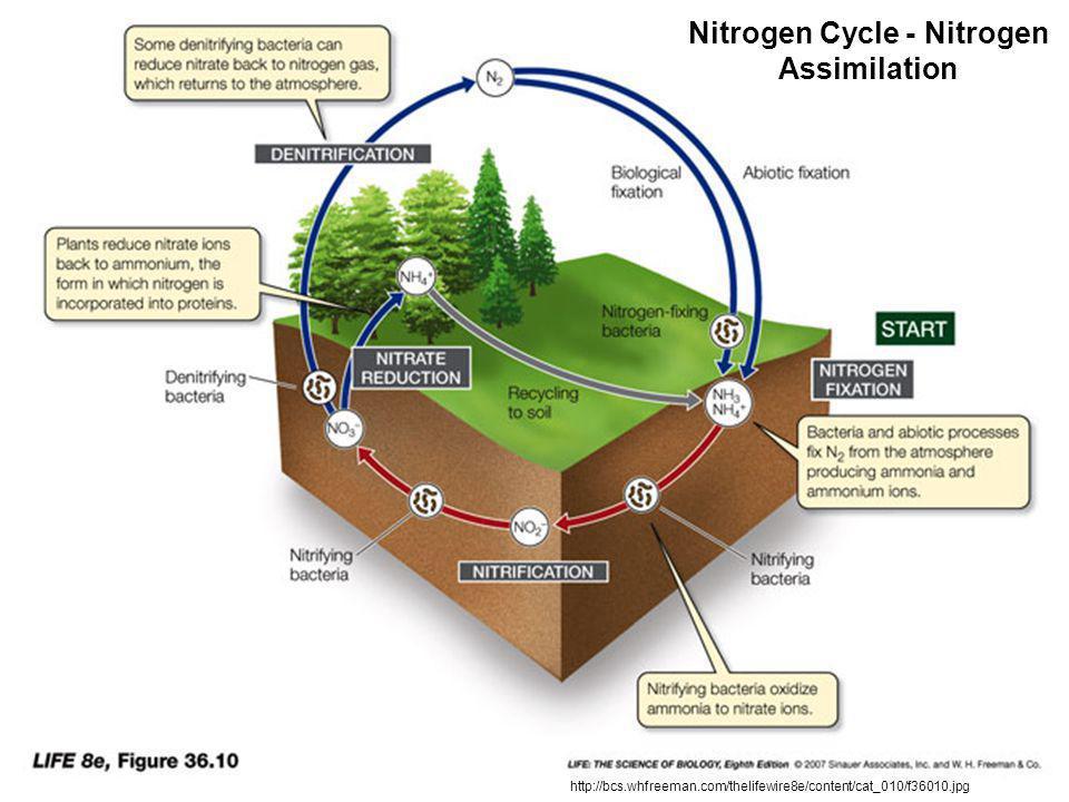 http://bcs.whfreeman.com/thelifewire8e/content/cat_010/f36010.jpg Nitrogen Cycle - Nitrogen Assimilation