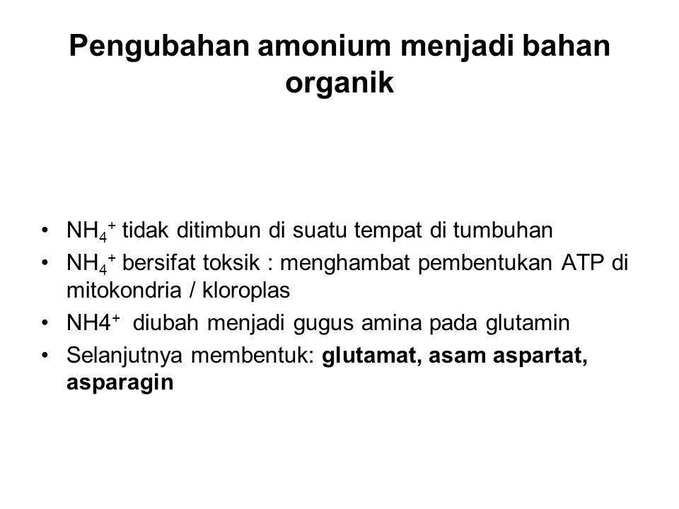 Pengubahan amonium menjadi bahan organik NH 4 + tidak ditimbun di suatu tempat di tumbuhan NH 4 + bersifat toksik : menghambat pembentukan ATP di mitokondria / kloroplas NH4 + diubah menjadi gugus amina pada glutamin Selanjutnya membentuk: glutamat, asam aspartat, asparagin