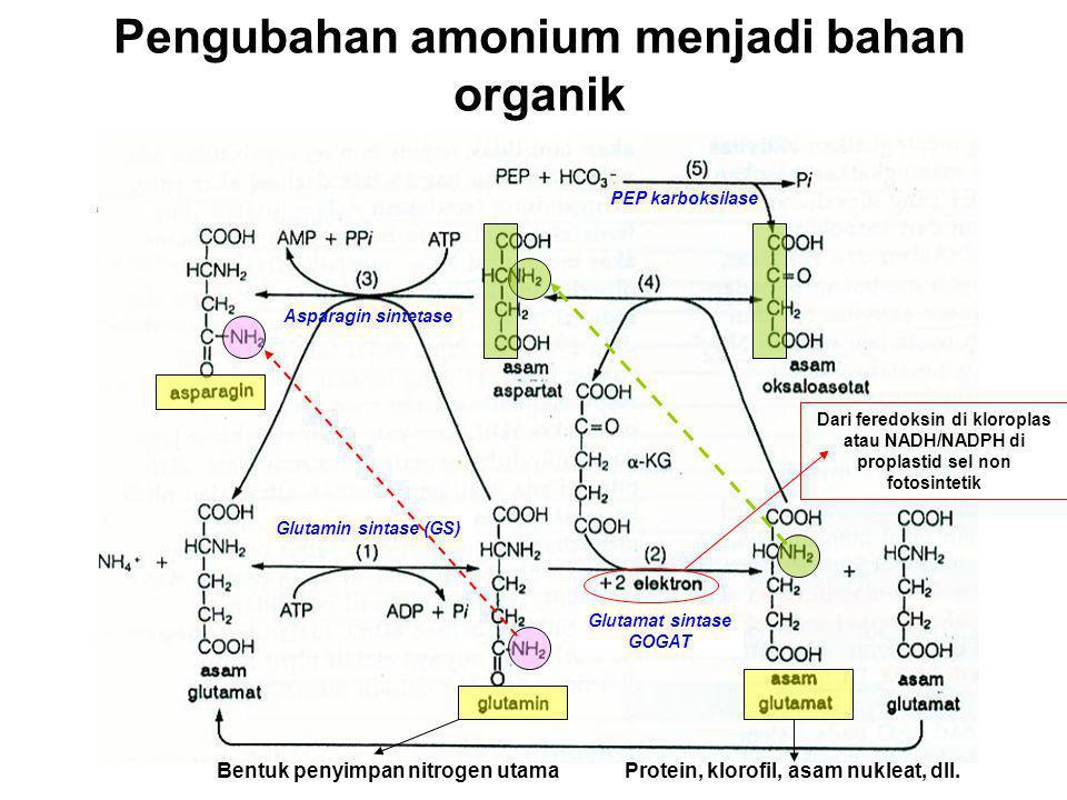 Pengubahan amonium menjadi bahan organik Glutamin sintase (GS) Glutamat sintase GOGAT Dari feredoksin di kloroplas atau NADH/NADPH di proplastid sel n