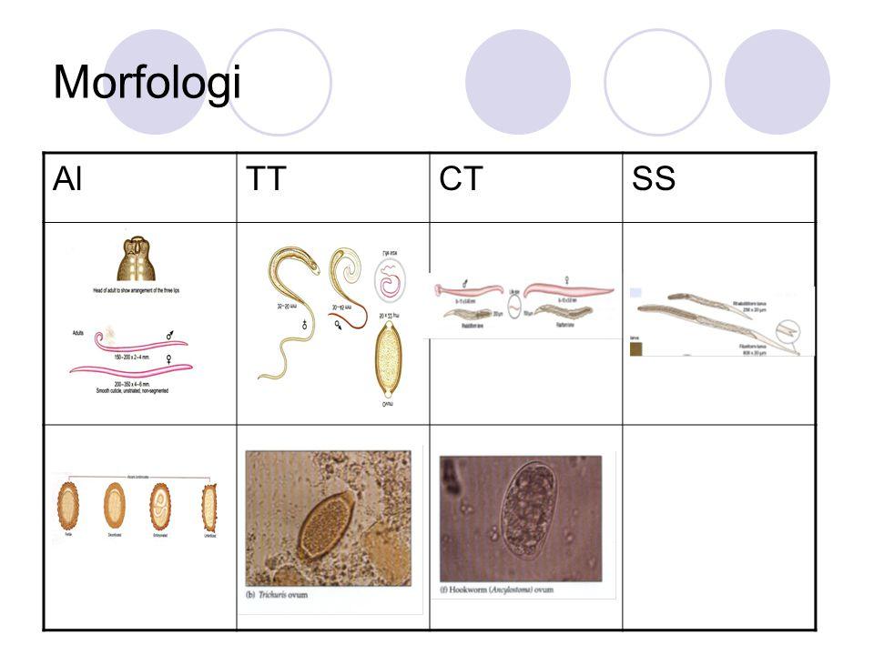 Morfologi AlTTCTSS