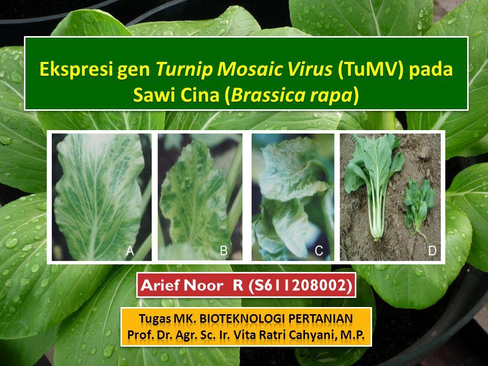 Ekspresi gen Turnip Mosaic Virus (TuMV) pada Sawi Cina (Brassica rapa) Arief Noor R (S611208002)