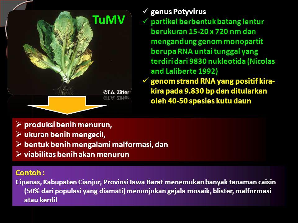 TuMV genus Potyvirus partikel berbentuk batang lentur berukuran 15-20 x 720 nm dan mengandung genom monopartit berupa RNA untai tunggal yang terdiri dari 9830 nukleotida (Nicolas and Laliberte 1992) genom strand RNA yang positif kira- kira pada 9.830 bp dan ditularkan oleh 40-50 spesies kutu daun  produksi benih menurun,  ukuran benih mengecil,  bentuk benih mengalami malformasi, dan  viabilitas benih akan menurun Contoh : Cipanas, Kabupaten Cianjur, Provinsi Jawa Barat menemukan banyak tanaman caisin (50% dari populasi yang diamati) menunjukan gejala mosaik, blister, malformasi atau kerdil