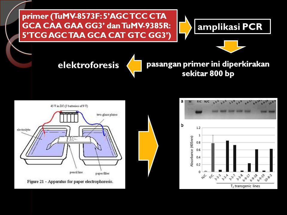 primer (TuMV-8573F: 5'AGC TCC CTA GCA CAA GAA GG3' dan TuMV-9385R: 5'TCG AGC TAA GCA CAT GTC GG3') amplikasi PCR pasangan primer ini diperkirakan sekitar 800 bp elektroforesis
