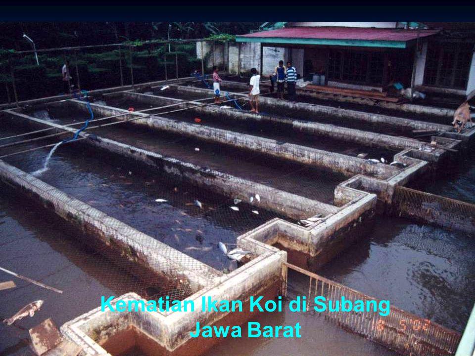 36 Kematian Ikan Koi di Subang Jawa Barat