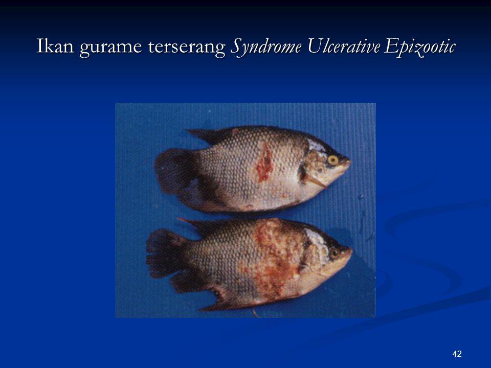 42 Ikan gurame terserang Syndrome Ulcerative Epizootic