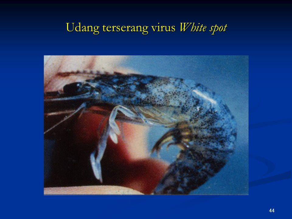 44 Udang terserang virus White spot