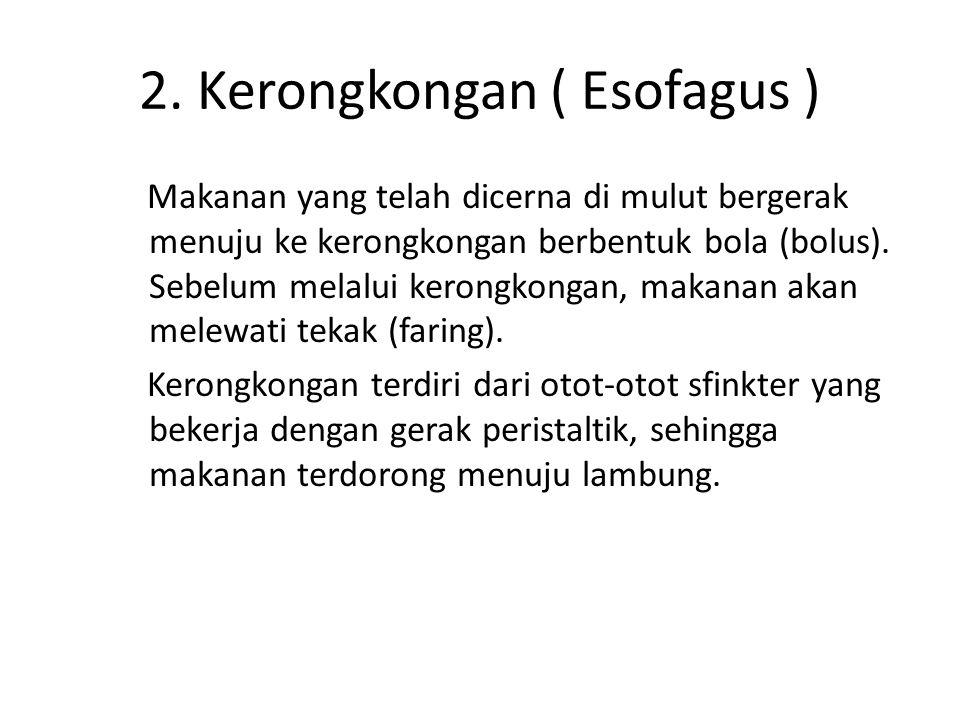 3.LAMBUNG ( Ventrikulus ) Terdiri dari 3 bagian, yaitu : fundus, kardiak dan pylorus.