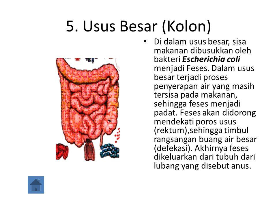 5. Usus Besar (Kolon) Di dalam usus besar, sisa makanan dibusukkan oleh bakteri Escherichia coli menjadi Feses. Dalam usus besar terjadi proses penyer