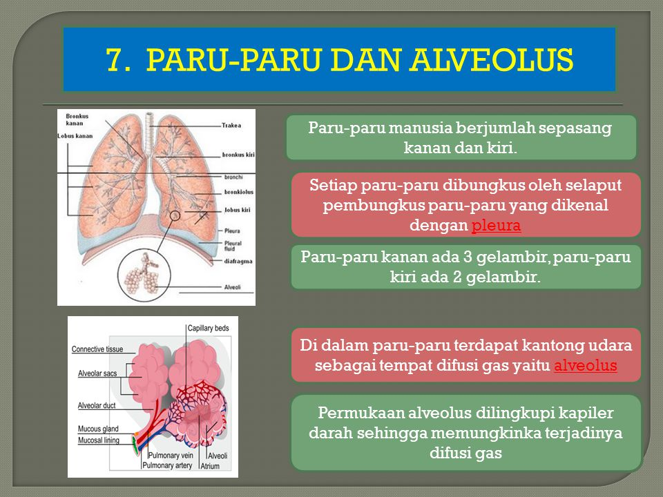 7.PARU-PARU DAN ALVEOLUS Paru-paru manusia berjumlah sepasang kanan dan kiri.