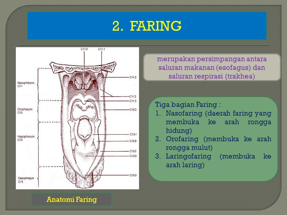 2. FARING Anatomi Faring merupakan persimpangan antara saluran makanan (esofagus) dan saluran respirasi (trakhea) Tiga bagian Faring : 1.Nasofaring (d