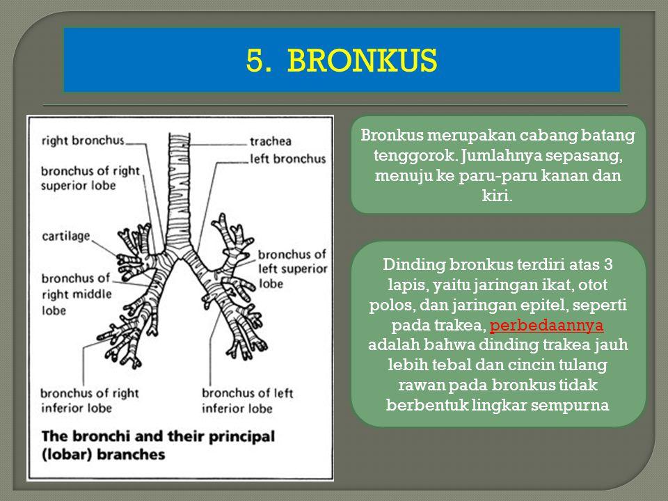 5.BRONKUS Bronkus merupakan cabang batang tenggorok.