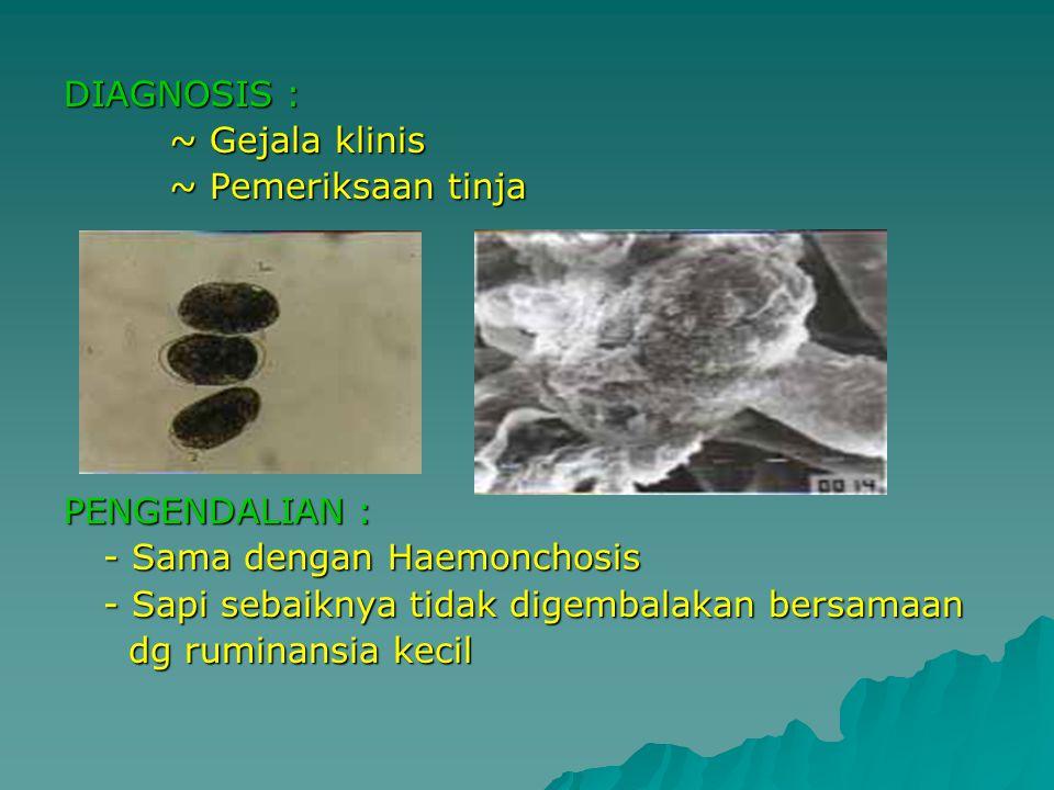DIAGNOSIS : ~ Gejala klinis ~ Pemeriksaan tinja PENGENDALIAN : - Sama dengan Haemonchosis - Sapi sebaiknya tidak digembalakan bersamaan dg ruminansia kecil