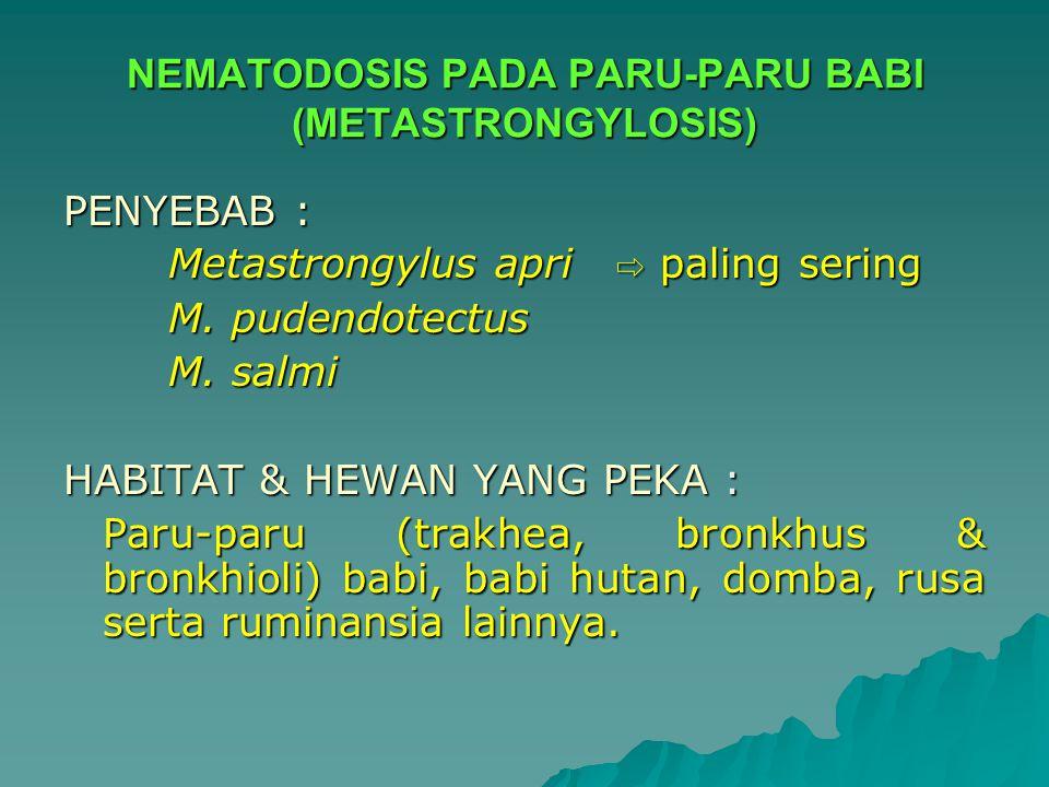 NEMATODOSIS PADA PARU-PARU BABI (METASTRONGYLOSIS) PENYEBAB : Metastrongylus apri ⇨ paling sering M. pudendotectus M. salmi HABITAT & HEWAN YANG PEKA