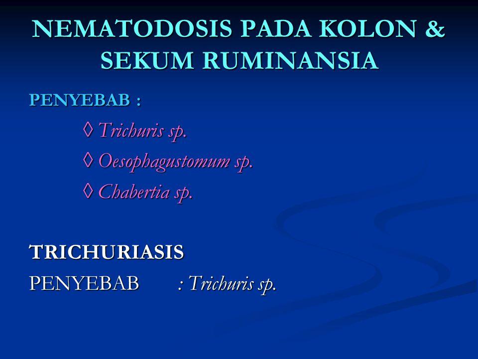 NEMATODOSIS PADA KOLON & SEKUM RUMINANSIA PENYEBAB : ◊ Trichuris sp. ◊ Trichuris sp. ◊ Oesophagustomum sp. ◊ Oesophagustomum sp. ◊ Chabertia sp. ◊ Cha