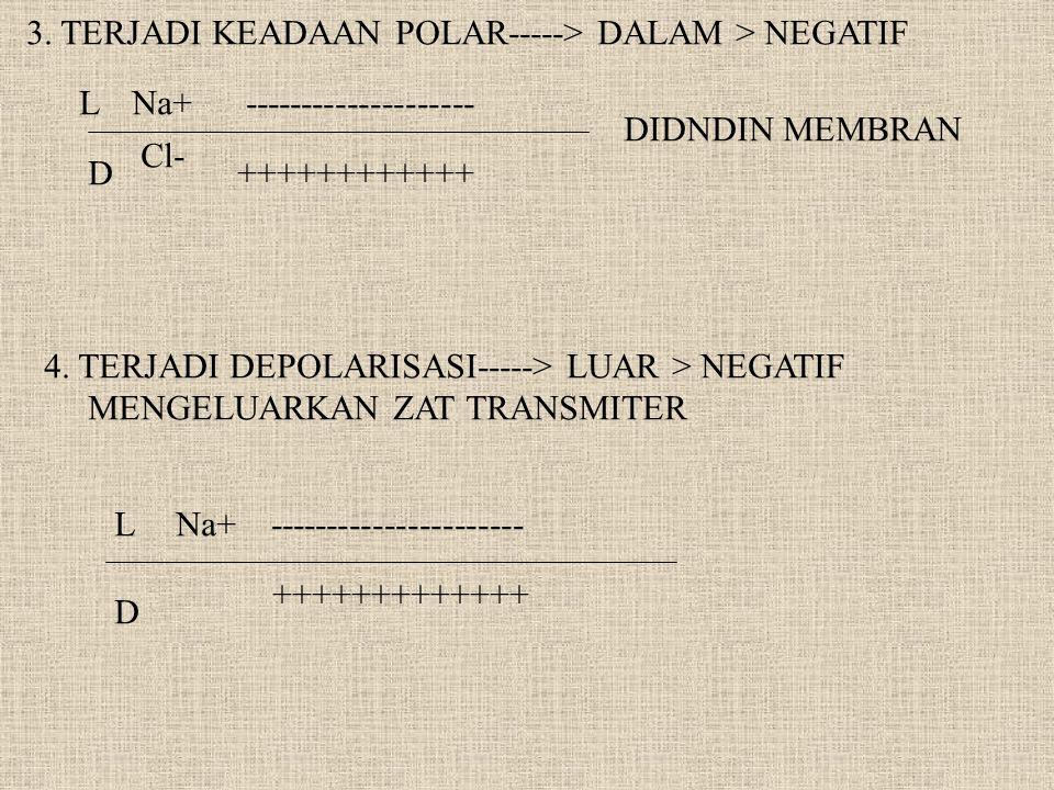 3. TERJADI KEADAAN POLAR-----> DALAM > NEGATIF L D Na+ Cl- -------------------- ++++++++++++ DIDNDIN MEMBRAN 4. TERJADI DEPOLARISASI-----> LUAR > NEGA