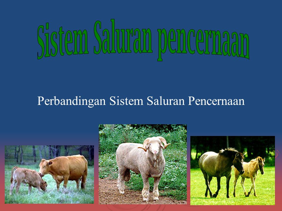 Anatomi dan Fungsi Saluran Pencernaan Pada Ruminant continued… Mouth -contains dental pad, teeth, tongue and saliva -saliva contains no salivary amylase Esophagus -tube from mouth to stomach -tube from stomach to mouth
