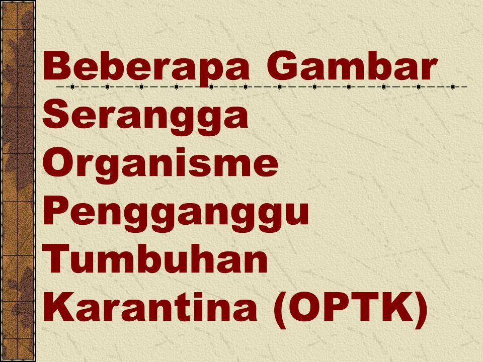 Beberapa Gambar Serangga Organisme Pengganggu Tumbuhan Karantina (OPTK)