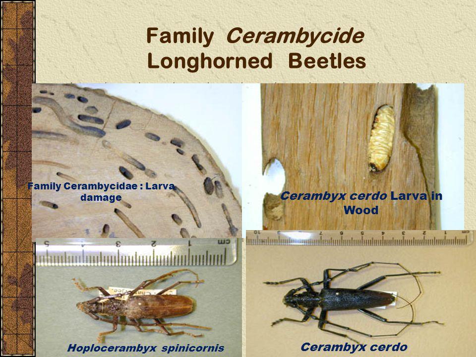 Family Cerambycide Longhorned Beetles Family Cerambycidae : Larva damage Cerambyx cerdo Larva in Wood Cerambyx cerdo Hoplocerambyx spinicornis