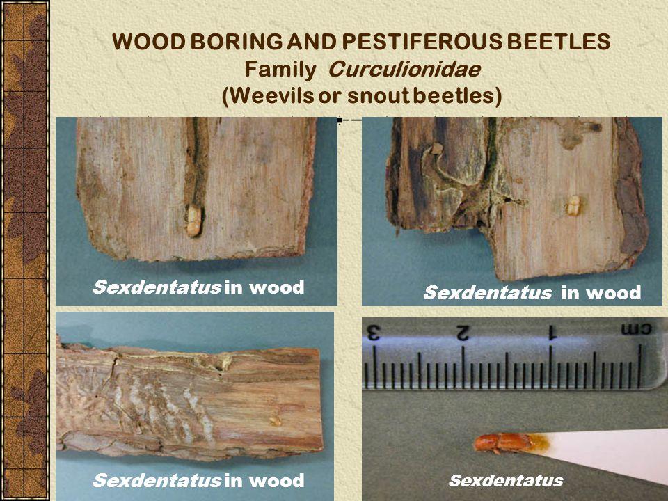 WOOD BORING AND PESTIFEROUS BEETLES Family Curculionidae (Weevils or snout beetles) Sexdentatus in wood Sexdentatus Sexdentatus in wood