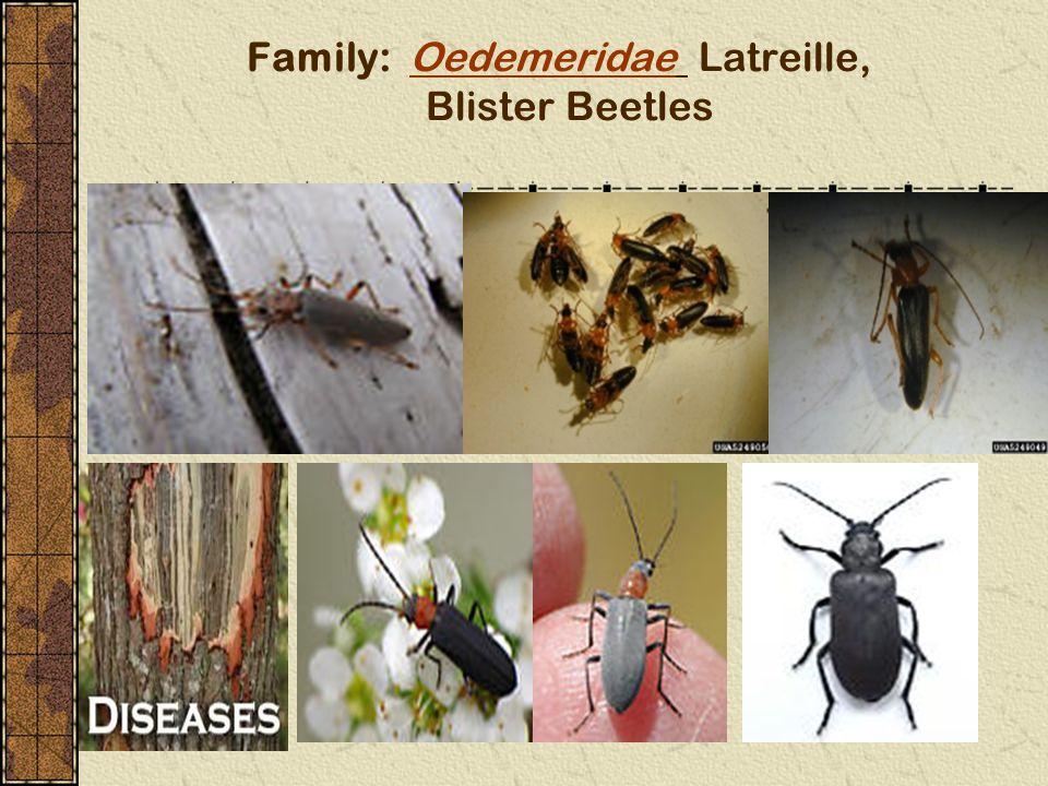 Family: Oedemeridae Latreille, Blister BeetlesOedemeridae