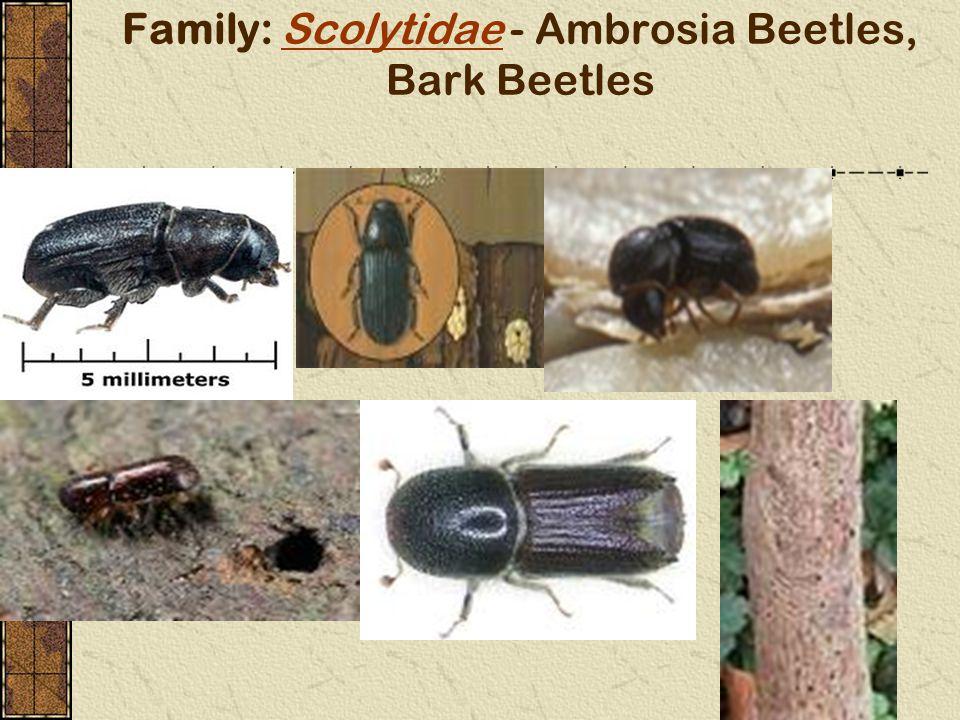 Family: Scolytidae - Ambrosia Beetles, Bark BeetlesScolytidae