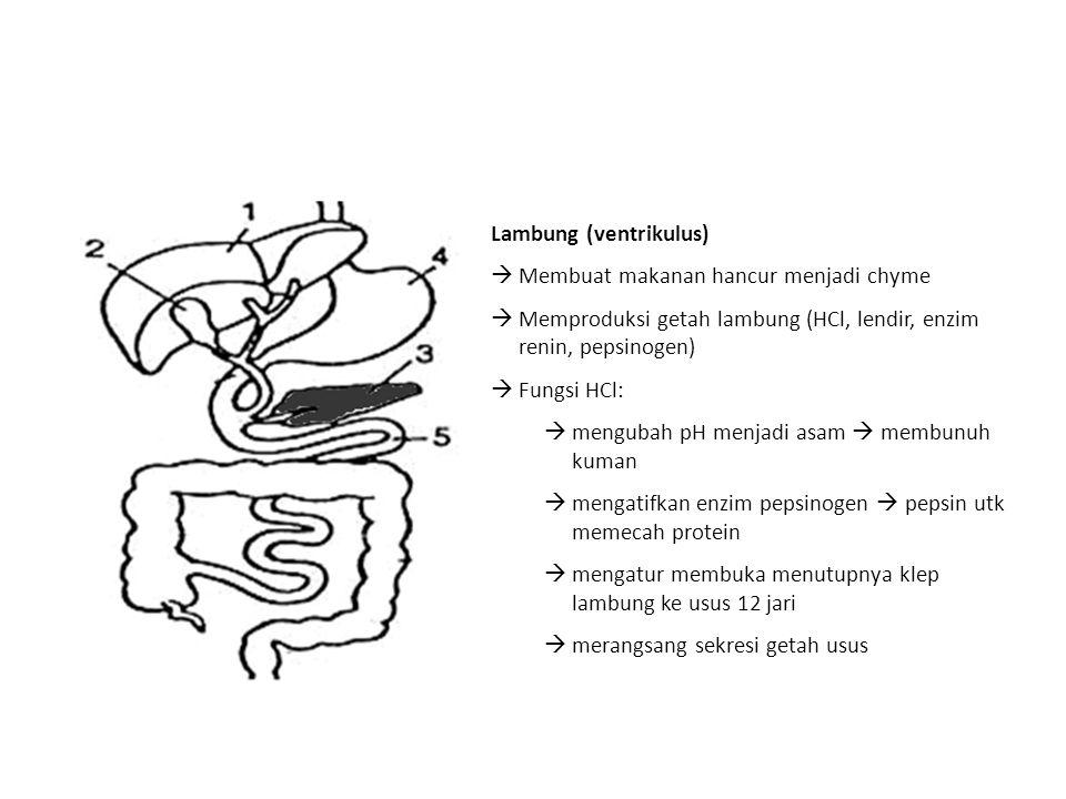 Lambung (ventrikulus)  Membuat makanan hancur menjadi chyme  Memproduksi getah lambung (HCl, lendir, enzim renin, pepsinogen)  Fungsi HCl:  mengub