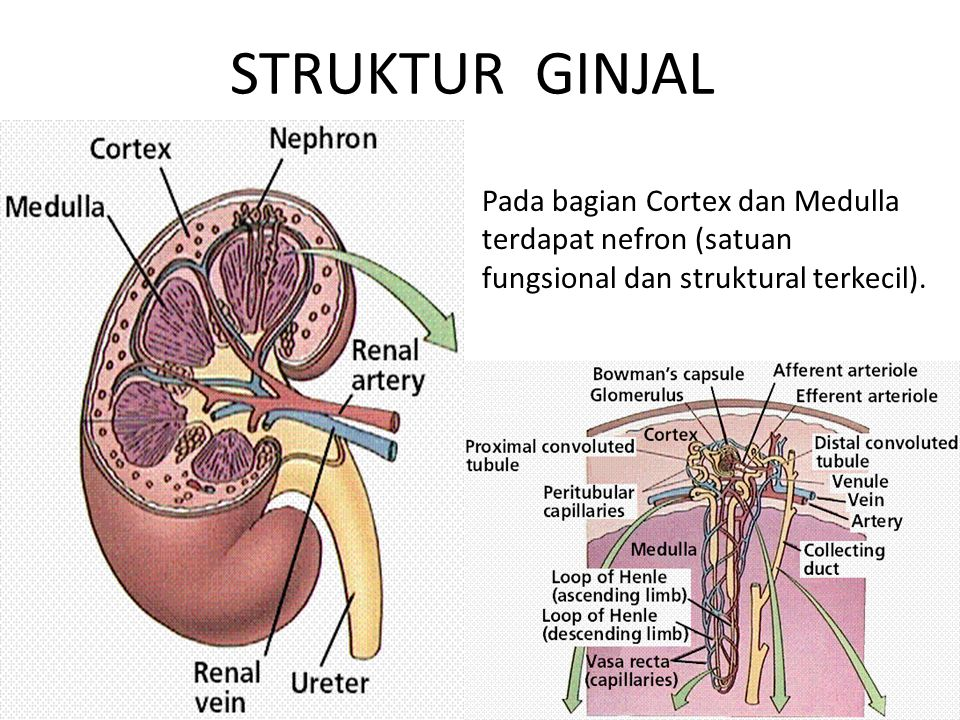 STRUKTUR GINJAL Pada bagian Cortex dan Medulla terdapat nefron (satuan fungsional dan struktural terkecil).