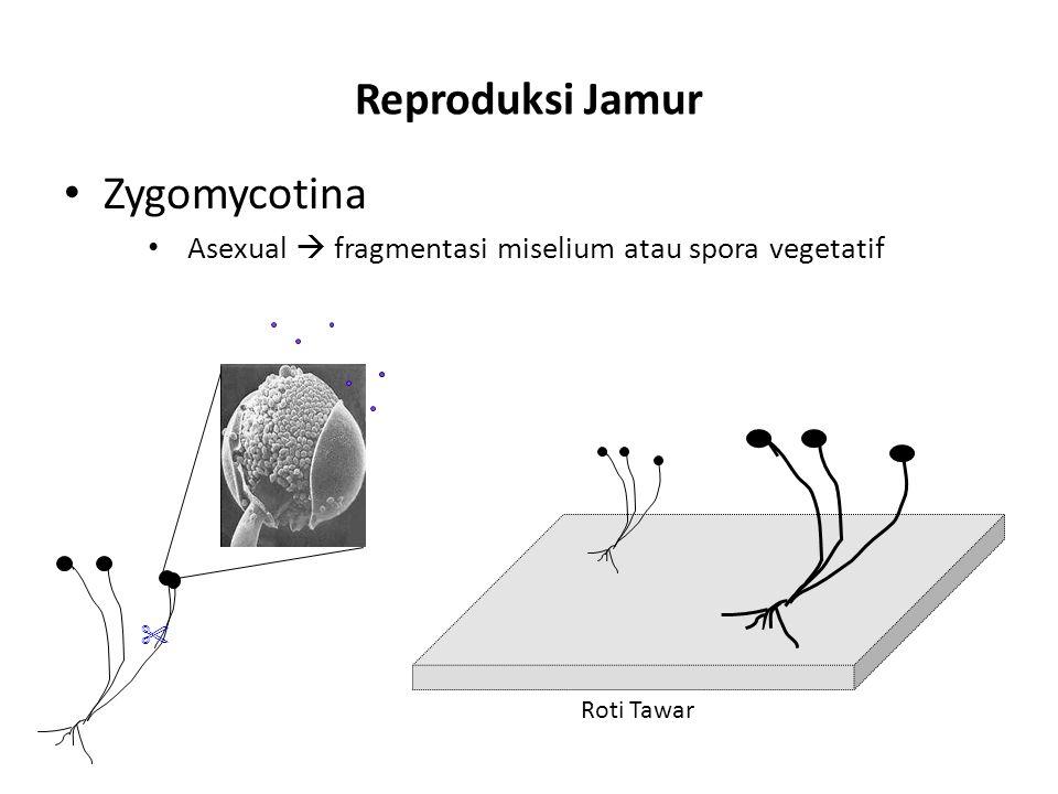 Reproduksi Jamur Zygomycotina Asexual  fragmentasi miselium atau spora vegetatif Roti Tawar 