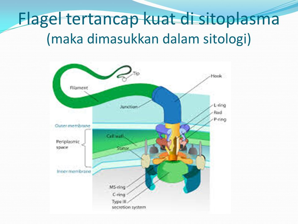 Flagel tertancap kuat di sitoplasma (maka dimasukkan dalam sitologi)