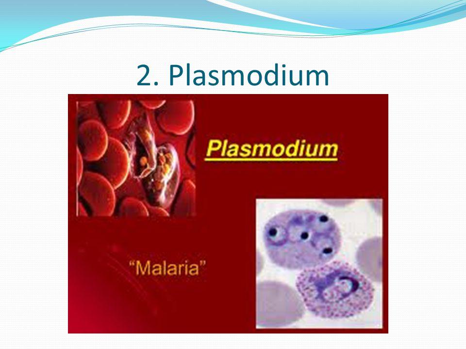 2. Plasmodium