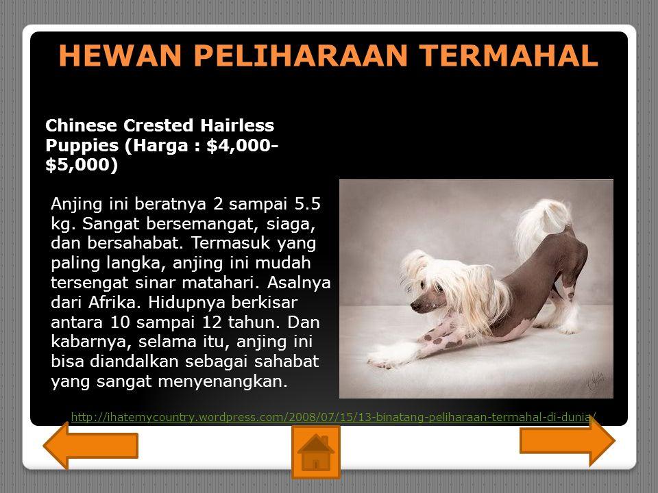 HEWAN PELIHARAAN TERMAHAL Chinese Crested Hairless Puppies (Harga : $4,000- $5,000) Anjing ini beratnya 2 sampai 5.5 kg.