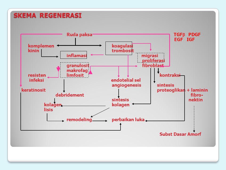 SKEMA REGENERASI Ruda paksa TGF  PDGF EGF IGF komplemenkoagulasi kinintrombosit inflamasi migrasi proliferasi granulosit fibroblast makrofag resis