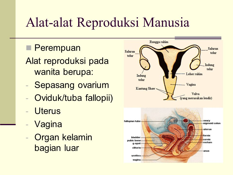 Alat-alat Reproduksi Manusia Perempuan Alat reproduksi pada wanita berupa: - Sepasang ovarium - Oviduk/tuba fallopii) - Uterus - Vagina - Organ kelamin bagian luar