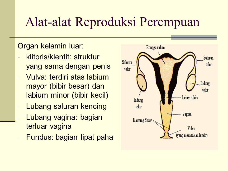 Alat-alat Reproduksi Perempuan Organ kelamin luar: - klitoris/klentit: struktur yang sama dengan penis - Vulva: terdiri atas labium mayor (bibir besar) dan labium minor (bibir kecil) - Lubang saluran kencing - Lubang vagina: bagian terluar vagina - Fundus: bagian lipat paha