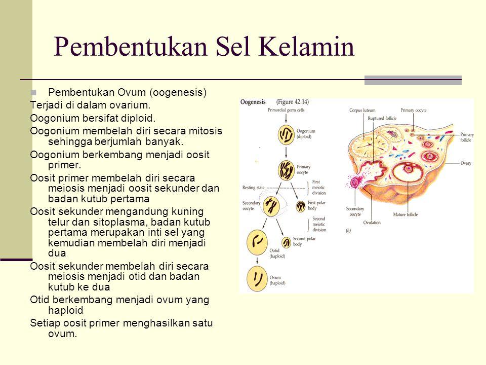 Pembentukan Sel Kelamin Pembentukan Ovum (oogenesis) Terjadi di dalam ovarium. Oogonium bersifat diploid. Oogonium membelah diri secara mitosis sehing
