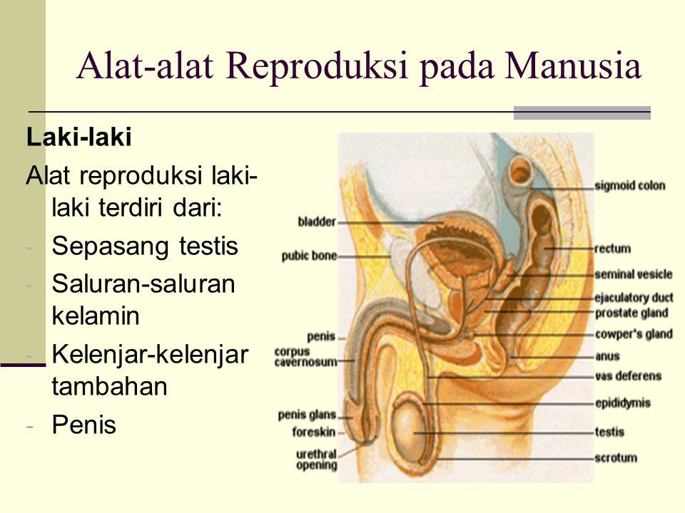 Alat-alat Reproduksi pada Manusia Laki-laki Alat reproduksi laki- laki terdiri dari: - Sepasang testis - Saluran-saluran kelamin - Kelenjar-kelenjar tambahan - Penis