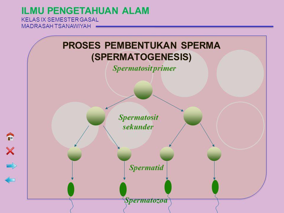 PROSES PEMBENTUKAN SPERMA (SPERMATOGENESIS) Spermatosit primer Spermatosit sekunder Spermatosit sekunder Spermatid Spermatozoa ILMU PENGETAHUAN ALAM K