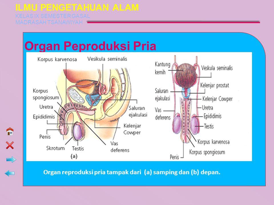 Organ Peproduksi Pria Organ reproduksi pria tampak dari (a) samping dan (b) depan. ILMU PENGETAHUAN ALAM KELAS IX SEMESTER GASAL MADRASAH TSANAWIYAH