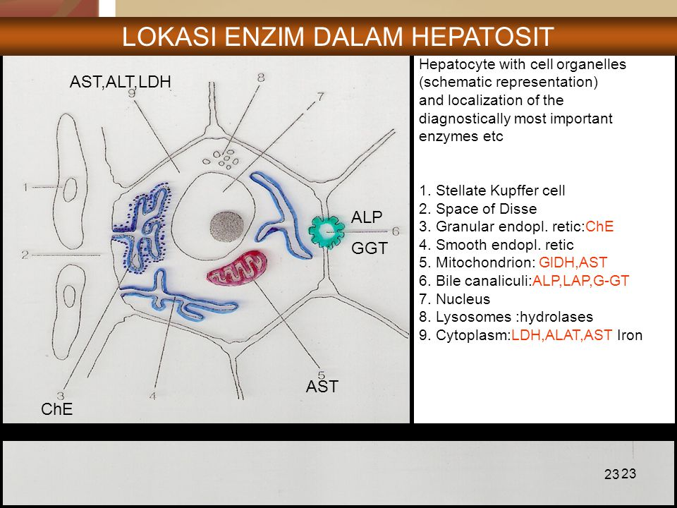 23 Hepatocyte with cell organelles (schematic representation) and localization of the diagnostically most important enzymes etc 1. Stellate Kupffer ce