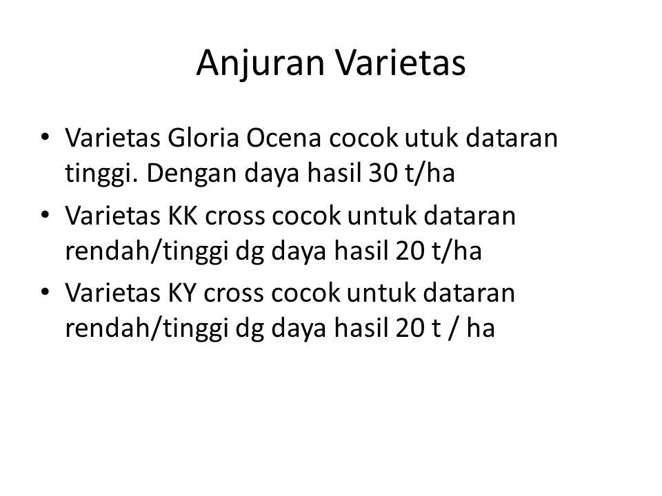 Anjuran Varietas Varietas Gloria Ocena cocok utuk dataran tinggi. Dengan daya hasil 30 t/ha Varietas KK cross cocok untuk dataran rendah/tinggi dg day