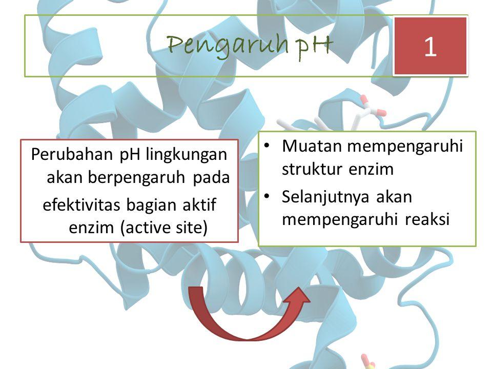 Pengaruh pH Perubahan pH lingkungan akan berpengaruh pada efektivitas bagian aktif enzim (active site) Muatan mempengaruhi struktur enzim Selanjutnya