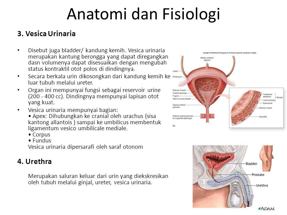 Anatomi dan Fisiologi 3. Vesica Urinaria Disebut juga bladder/ kandung kemih. Vesica urinaria merupakan kantung berongga yang dapat diregangkan dasn v