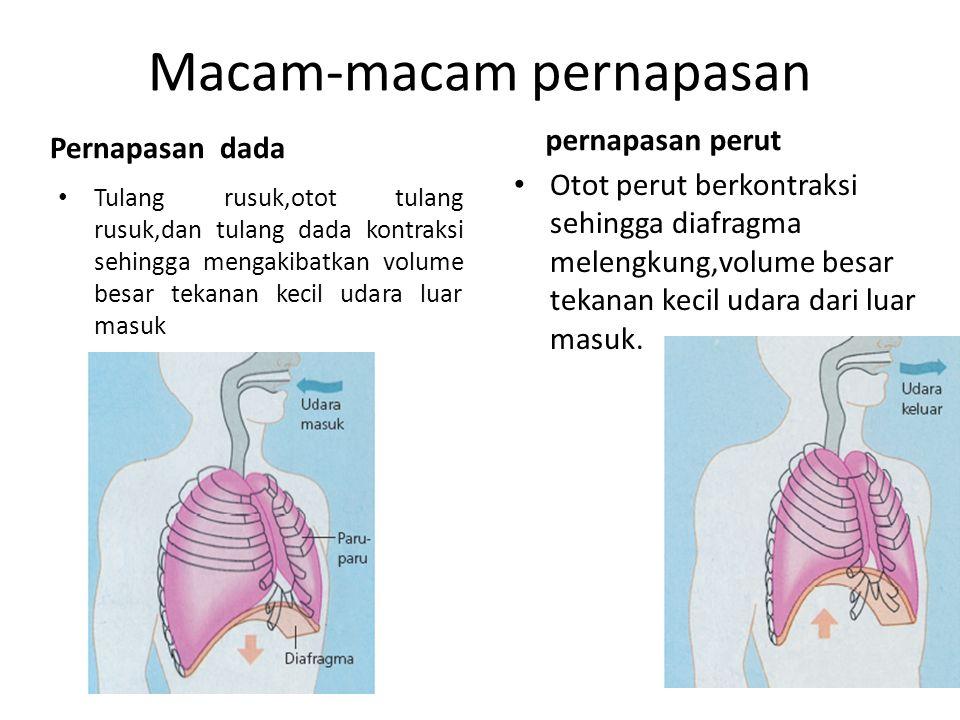 Macam-macam pernapasan Pernapasan dada Tulang rusuk,otot tulang rusuk,dan tulang dada kontraksi sehingga mengakibatkan volume besar tekanan kecil udar