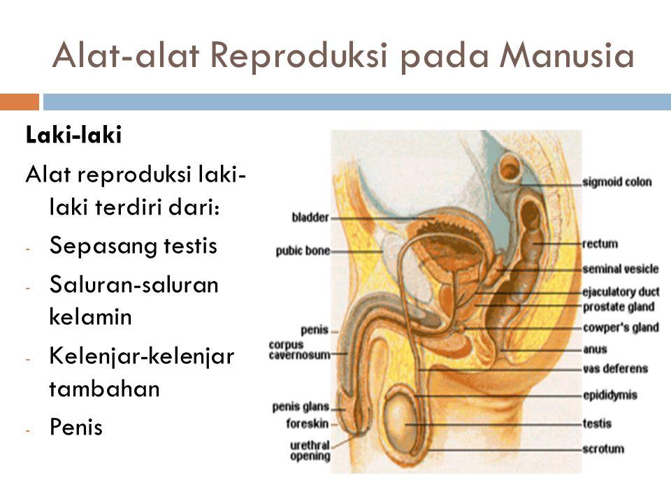 Alat-alat Reproduksi pada Manusia Laki-laki Alat reproduksi laki- laki terdiri dari: - Sepasang testis - Saluran-saluran kelamin - Kelenjar-kelenjar t