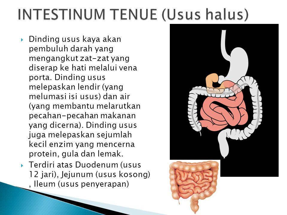  Dinding usus kaya akan pembuluh darah yang mengangkut zat-zat yang diserap ke hati melalui vena porta. Dinding usus melepaskan lendir (yang melumasi