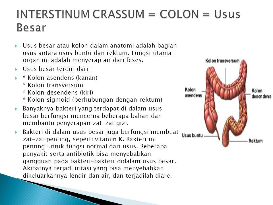  Usus besar atau kolon dalam anatomi adalah bagian usus antara usus buntu dan rektum. Fungsi utama organ ini adalah menyerap air dari feses.  Usus b