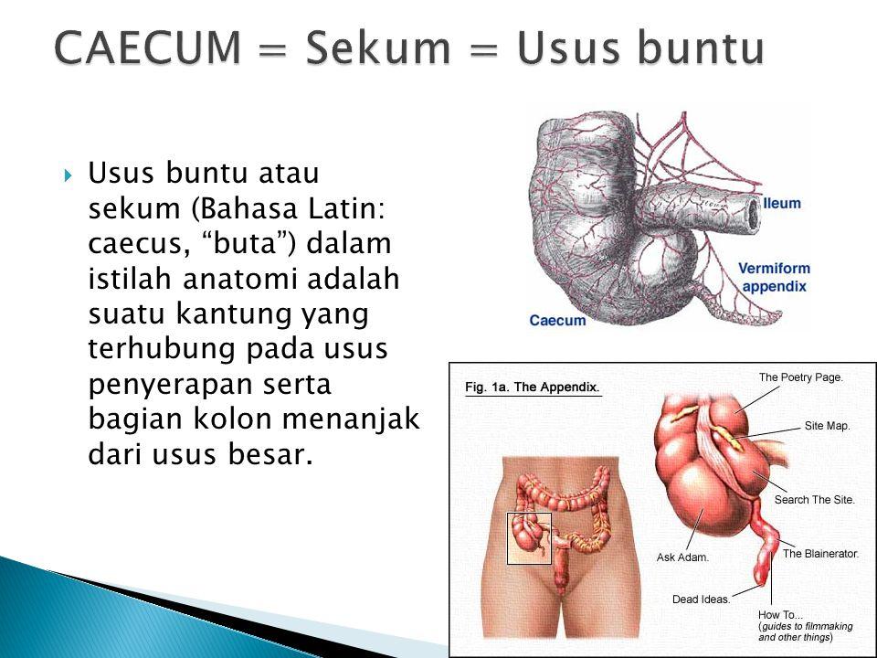 """ Usus buntu atau sekum (Bahasa Latin: caecus, """"buta"""") dalam istilah anatomi adalah suatu kantung yang terhubung pada usus penyerapan serta bagian kol"""