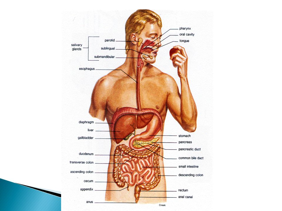 OrganExplanation AnusThe distal opening of the digestive tract (root an/o) AppendixAn appendage; usually means the narrow tube attached to the cecum, the vermiform (wormlike) appendix BileThe fluid secreted by the liver that aids in the digestion and absorption of fats (roots chol/e, bili) CecumA blind pouch at the beginning of the large intestine (root cec/o) ColonThe major portion of the large intestine; extends from the cecum to the rectum and is formed by ascending, transverse, and descending portions (root col/o, colon/o) Common bile duct The duct that carries bile into the duodenum; formed by the union of the cystic duct and the common hepatic duct (root choledoch/o) DuodenumThe first portion of the small intestine (root duoden/o) EsophagusThe muscular tube that carries food from the pharynx to the stomach.