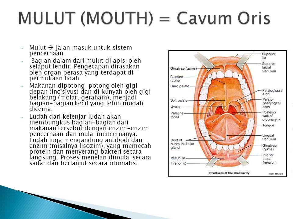 Mulut  jalan masuk untuk sistem pencernaan. Bagian dalam dari mulut dilapisi oleh selaput lendir. Pengecapan dirasakan oleh organ perasa yang terdapa