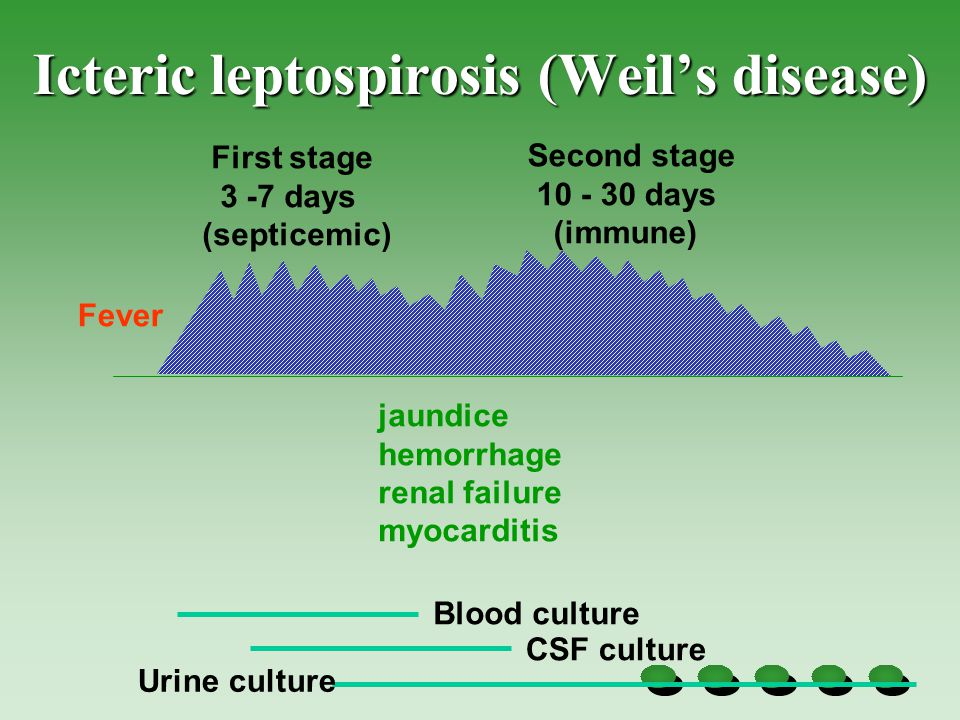 Icteric leptospirosis (Weil's disease) First stage 3 -7 days (septicemic) Second stage 10 - 30 days (immune) Fever jaundice hemorrhage renal failure myocarditis Blood culture CSF culture Urine culture